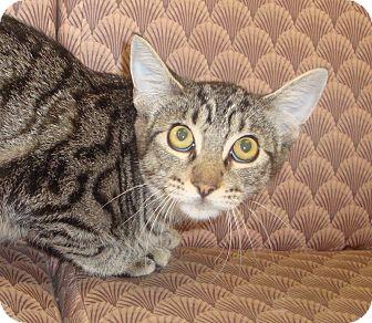 Domestic Shorthair Kitten for adoption in Kirby, Texas - Guinness