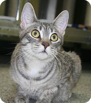 Domestic Shorthair Cat for adoption in Edmonton, Alberta - Alice