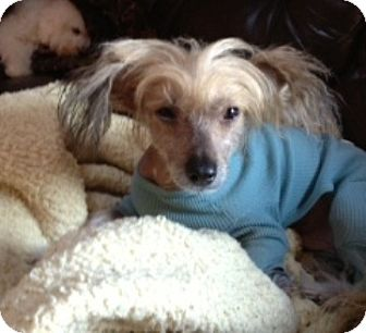 Chinese Crested Dog for adoption in Gilford, New Hampshire - Gromit (ME)
