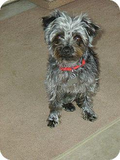Yorkie, Yorkshire Terrier Mix Dog for adoption in Sierra Vista, Arizona - Sparky
