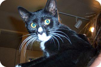 Domestic Shorthair Kitten for adoption in Pueblo West, Colorado - Hero