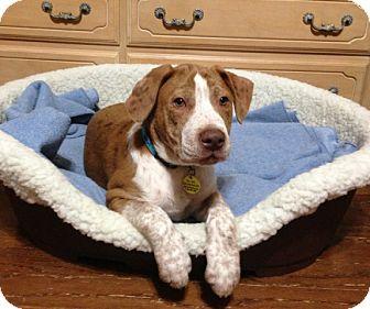 Australian Shepherd/Terrier (Unknown Type, Medium) Mix Puppy for adoption in Chattanooga, Tennessee - Nigel