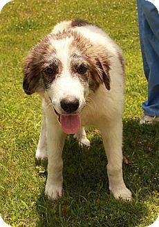 Great Pyrenees/Labrador Retriever Mix Dog for adoption in Allentown, Pennsylvania - Sadie
