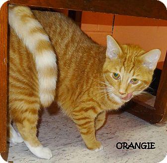 Domestic Shorthair Cat for adoption in Lapeer, Michigan - ORANGIE! SWEET! SPONSORED!