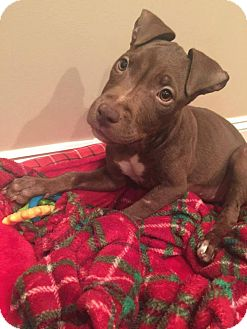 Pit Bull Terrier Puppy for adoption in Southampton, Pennsylvania - Kashi