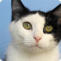 Adopt A Pet :: Ridge - Chicago, IL