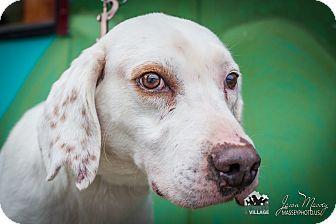 English Setter/English Pointer Mix Dog for adoption in Evansville, Indiana - Eli