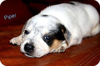 Australian Cattle Dog/Labrador Retriever Mix Puppy for adoption in Austin, Texas - Piper