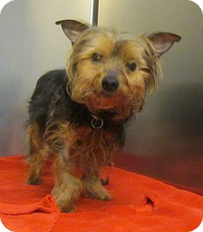 Yorkie, Yorkshire Terrier Dog for adoption in Oak Ridge, New Jersey - Marty-TINY
