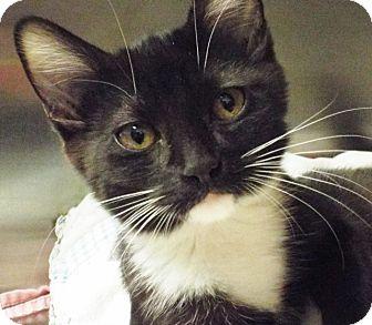 Domestic Shorthair Kitten for adoption in Grants Pass, Oregon - Molly