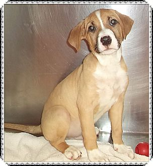 Shepherd (Unknown Type) Mix Puppy for adoption in Marietta, Georgia - PBJ