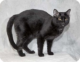 Domestic Shorthair Cat for adoption in Las Vegas, Nevada - Neeco