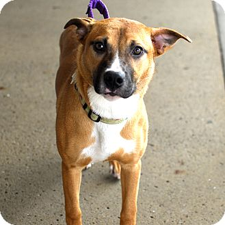 Boxer/Retriever (Unknown Type) Mix Dog for adoption in Detroit, Michigan - Kassie-Adopted!