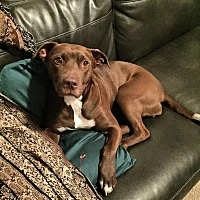American Staffordshire Terrier Mix Dog for adoption in Medina, Ohio - Morticia