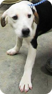 Beagle Mix Dog for adoption in Laingsburg, Michigan - Calvin