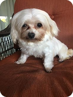 Maltese Dog for adoption in La Verne, California - Gigi