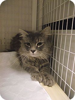 Domestic Mediumhair Cat for adoption in Chambersburg, Pennsylvania - Wilbur