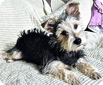 Terrier (Unknown Type, Small)/Schnauzer (Miniature) Mix Dog for adoption in Boulder, Colorado - Cullen