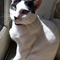 Adopt A Pet :: Alfalfa - Santa Monica, CA