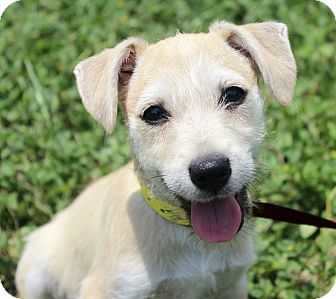 Terrier (Unknown Type, Small)/Labrador Retriever Mix Puppy for adoption in Monroeville, Pennsylvania - ORCHID
