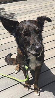 Shepherd (Unknown Type)/Labrador Retriever Mix Dog for adoption in Cranford, New Jersey - Buddy