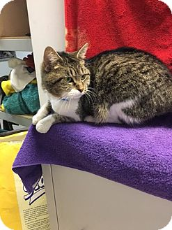 Domestic Shorthair Cat for adoption in University Park, Illinois - Chou Chou