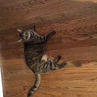 Adopt A Pet :: WV - Rosie (CP) - Lambertville, MI