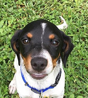 Jack Russell Terrier/Rat Terrier Mix Puppy for adoption in Homestead, Florida - Brody