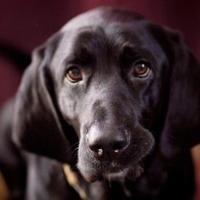 Adopt A Pet :: Linus - Vail, IA