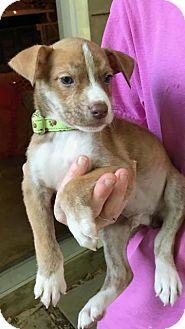 Hound (Unknown Type)/Boxer Mix Puppy for adoption in Rockville, Maryland - Babe Charlie