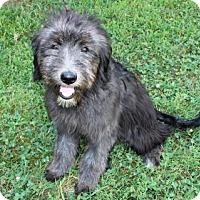 Adopt A Pet :: PUPPY KIMBER - Andover, CT
