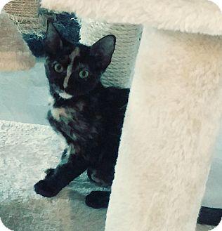 Domestic Shorthair Kitten for adoption in Yorba Linda, California - Raisin