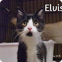 Adopt A Pet :: Elvis - Ocean City, NJ