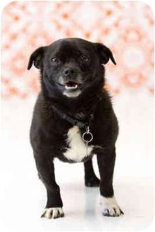 Pug/Schipperke Mix Dog for adoption in Portland, Oregon - Sugar
