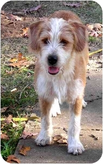 Airedale Terrier/Bearded Collie Mix Dog for adoption in Paragould, Arkansas - Barney