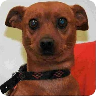 Miniature Pinscher Mix Dog for adoption in Arlington Heights, Illinois - Ted
