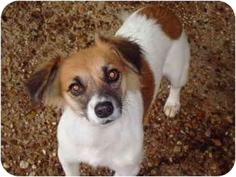 Dachshund/Jack Russell Terrier Mix Dog for adoption in Baton Rouge, Louisiana - Keg