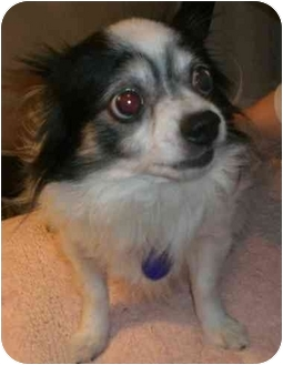Chihuahua Mix Dog for adoption in San Diego, California - Poppy