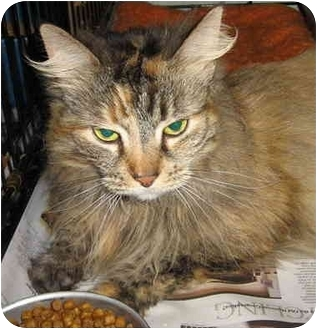 Domestic Longhair Cat for adoption in Brooklyn, New York - Checkers