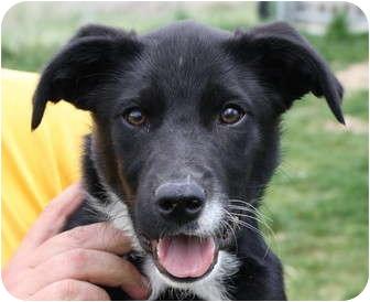 Border Collie Mix Dog for adoption in Jerome, Idaho - 4553