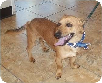 Corgi/Chihuahua Mix Dog for adoption in Oak Ridge, New Jersey - Trevor