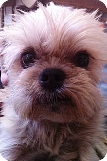 Brussels Griffon Dog for adoption in Los Angeles, California - TOBY - in Scottsdale, AZ.
