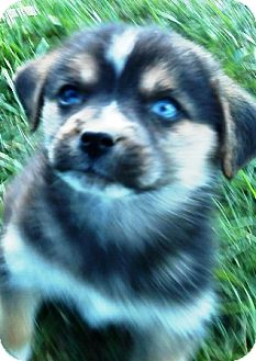 German Shepherd Dog/Husky Mix Puppy for adoption in Oswego, Illinois - I'M ADPTD Qnchr Ltr Pepsi