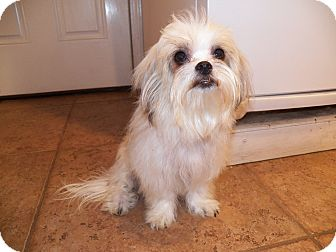 Shih Tzu/Maltese Mix Dog for adoption in Mary Esther, Florida - Evie