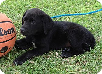 Labrador Retriever/Hound (Unknown Type) Mix Puppy for adoption in Westport, Connecticut - The BRADY BUNCH (Girls)