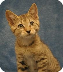 Domestic Shorthair Kitten for adoption in Sacramento, California - Romeo