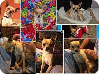 Italian Greyhound/Miniature Pinscher Mix Dog for adoption in Nanuet, New York - Pirate Petey