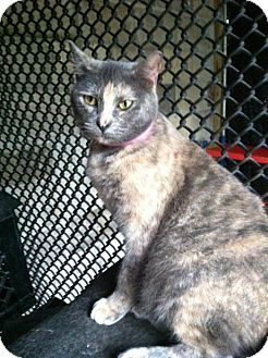 Domestic Shorthair Cat for adoption in Groveland, Florida - Mandy (Dilute Tortie)