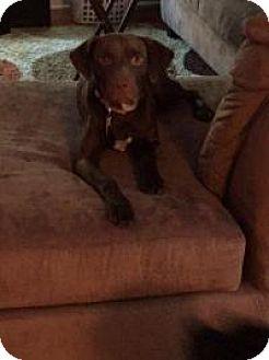 Labrador Retriever Mix Puppy for adoption in Marlton, New Jersey - Blaze