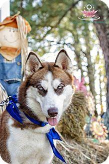 Siberian Husky Dog for adoption in Clay, Alabama - Sadelia